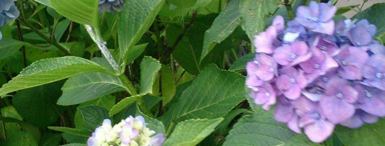 あじさいの花がとても綺麗です