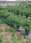 自社農園の新鮮野菜を収穫♪