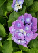 紫陽花の花が咲きました