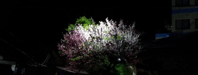 桃の木が・・・