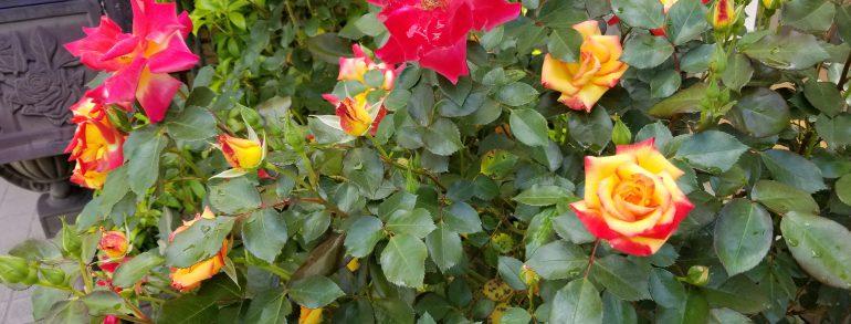 薔薇が咲きました!