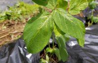 枝豆栽培開始!