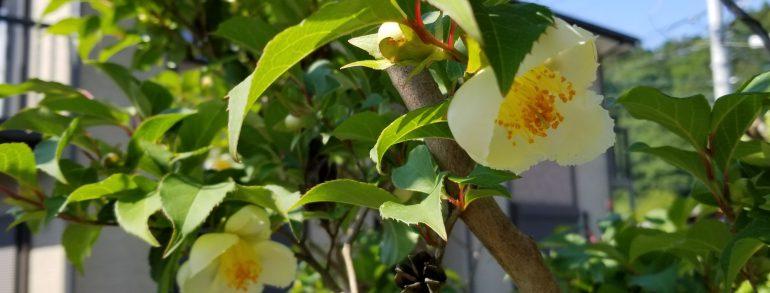 シャラの木 開花