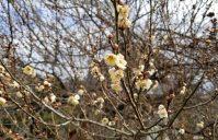 梅の花が咲き始めました~
